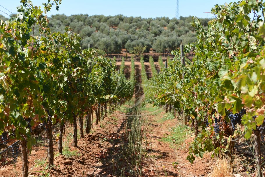 Business opportunity: Vineyard and bodega, Ronda