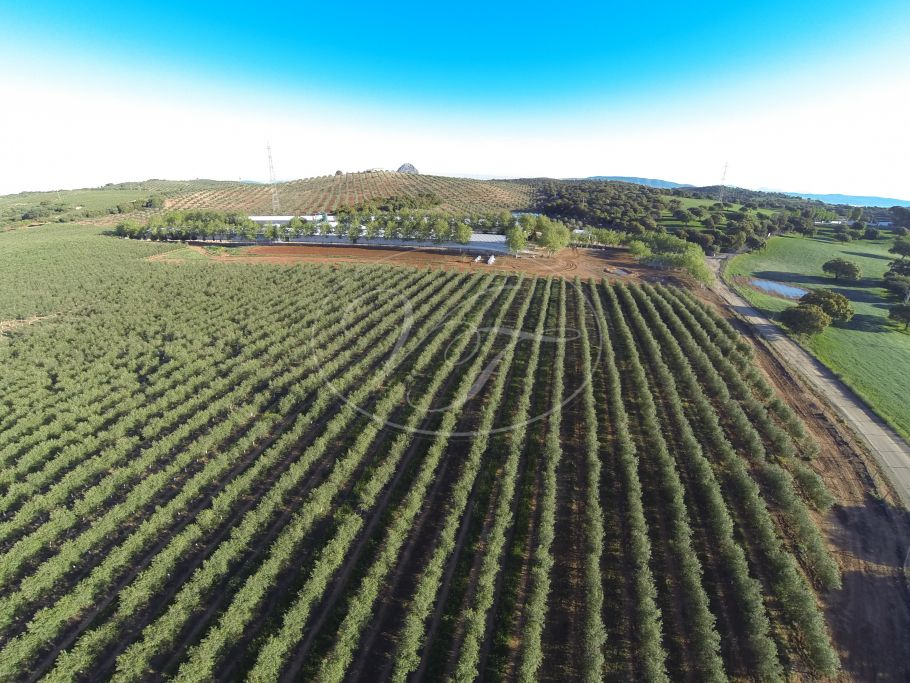 Productive olive grove with Farmhouse, Malaga, Malaga